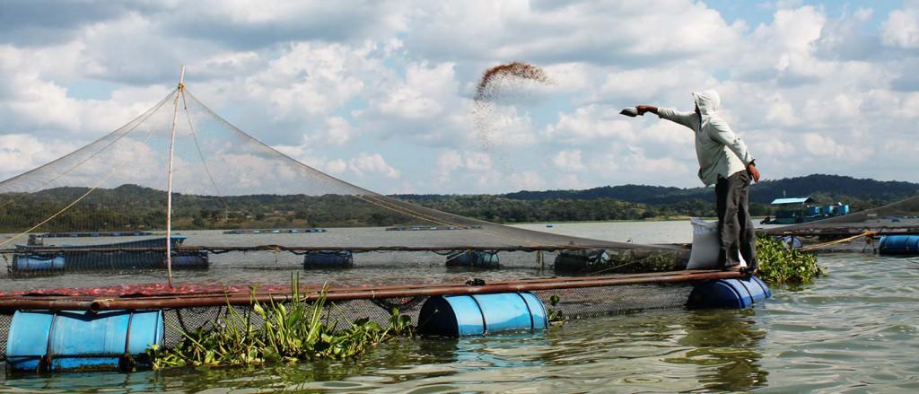 Producci n tecnificada de tilapia agro atl ntida for Construccion de jaulas flotantes para tilapia