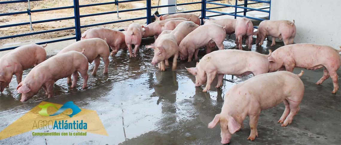 Porcicultura AgroAtlántida